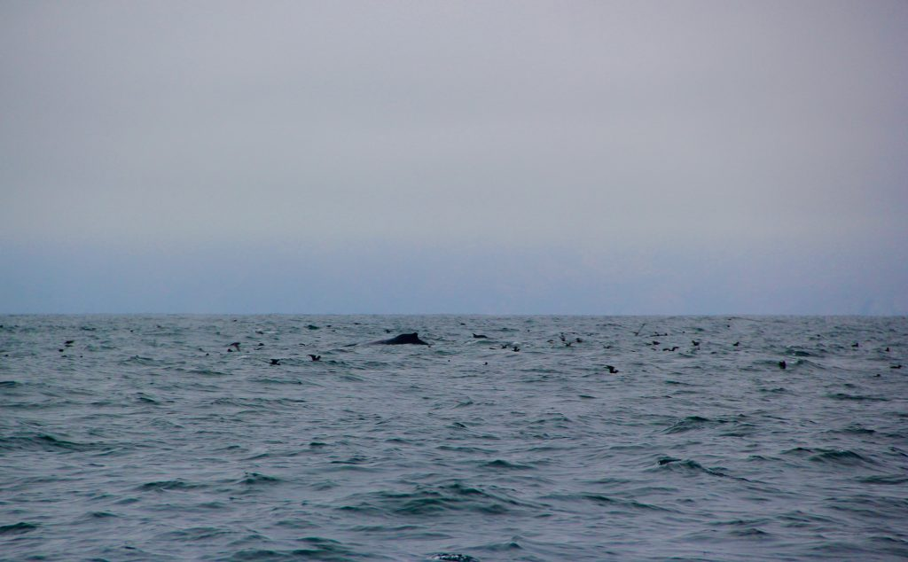 Whale near Santa Barbara Channel
