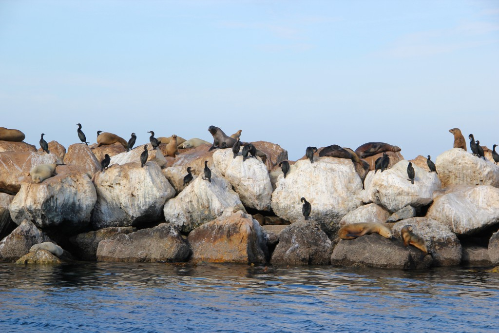 So many sea lions!