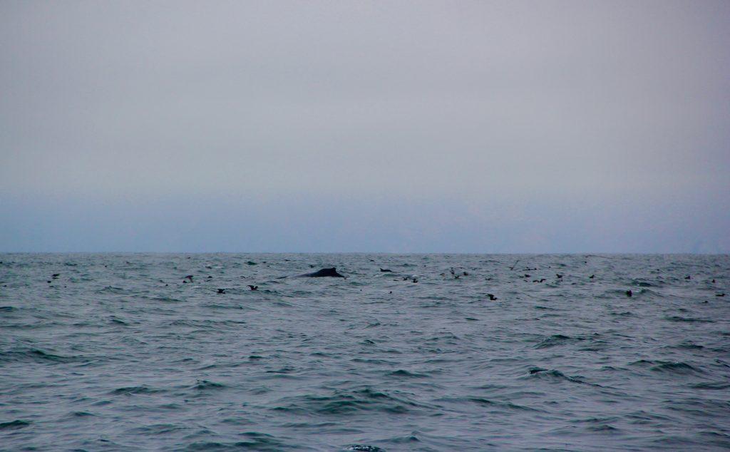 Whale near Santa Barbara Channel