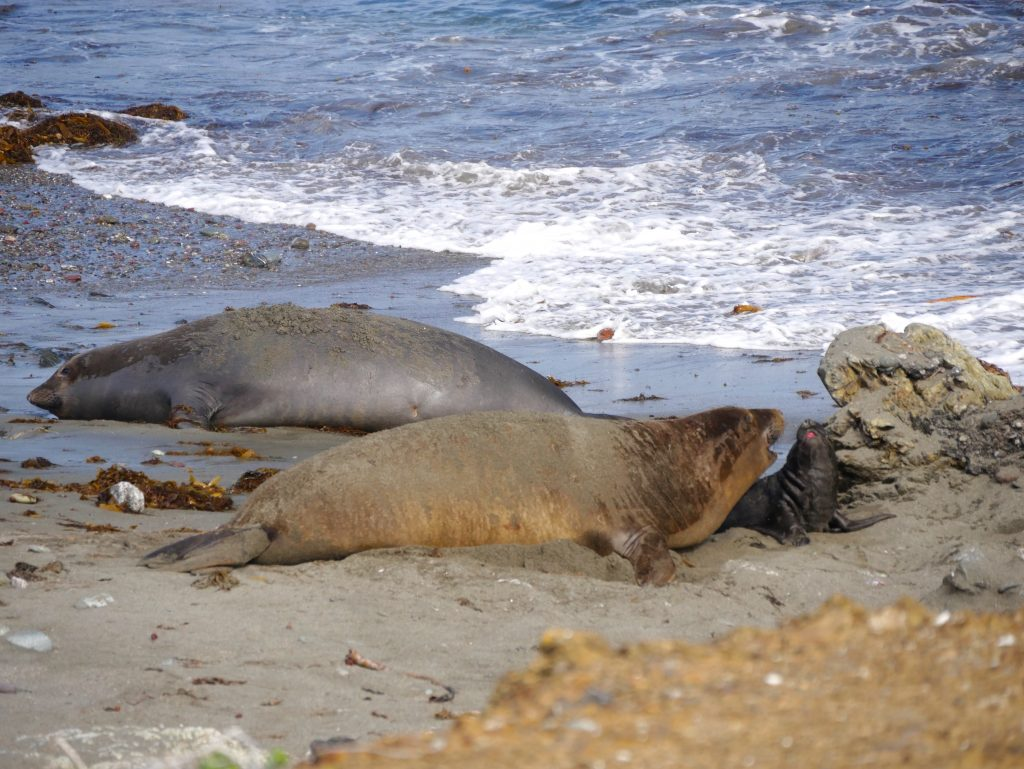Mama Elephant Seal and Newborn Pup