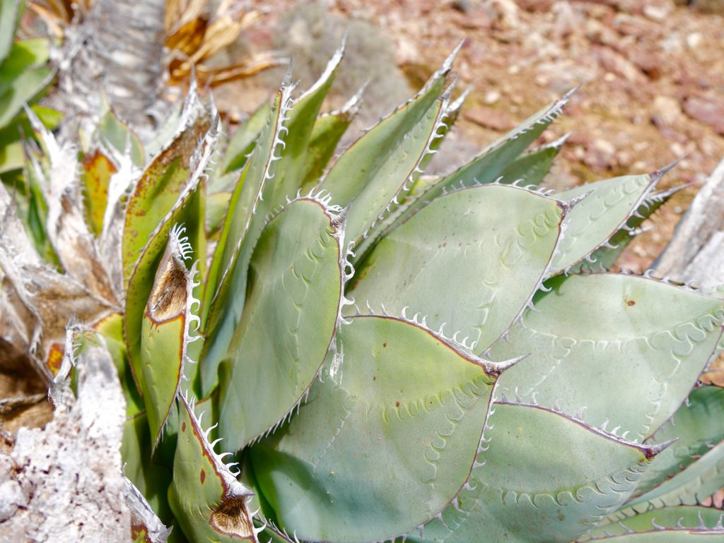 Cactus on Benito Oeste